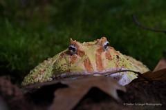 Schmuckhornfrosch - Ceratophrys ornata (Stefan Schlegel Photography) Tags: terrazoo rheinberg reptiles amphibians reptilien amphibien sony