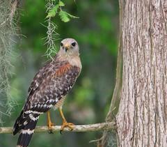 (seanasasnett) Tags: nature florida wildlife birds birding raptor hawk redshoulderedhawk