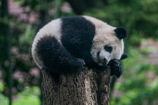 Xiang Xiang the Panda