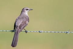 Mockingbird (Simon Stobart) Tags: mockingbird mimus polyglottos usa florida wire naturethroughthelens ngc