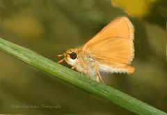Thymelicus acteon Esperiidae (Nikos Roditakis) Tags: lullwortskipper thymelicusacteon esperiidae lepidoptera butterflies greek cretan european fauna nikos roditakis episkopi pediados heraklion nikon d5200 macro tamron af sp 90mm f28