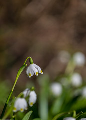 Spring snowdrop flowers blooming in sunny day. Shallow depth of field4 (AudioClassic) Tags: nature snowdrop spring green flower white plant blossom closeup fresh macro season leaf petal garden flora floral bloom sunlight blooming beauty snow beautiful forest meadow growth outdoor freshness detail seasonal natural bud color first springtime flowers grass growing outdoors life botany vegetation botanic bokeh daylight wood photography snowdrops