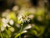 Wild Garlic (Marz Kubiak) Tags: manualfocuslens helios wildgarlic ireland green forest nature bokeh