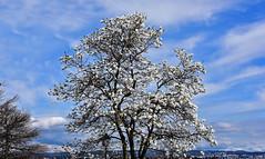 Magniolas en fleurs (Diegojack) Tags: morges vaud suisse printemps d7200 fleurs azur ciel magnolias groupenuagesetciel