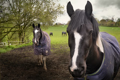 I do love horses (PentlandPirate of the North) Tags: horses ~flickrinnes flickrinnes
