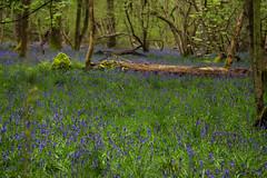 IMG_7678.jpg (ChodHound) Tags: ashridgeestate bluebells