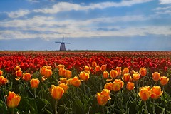 Morning Tulip Field 7090 F (jim.choate59) Tags: jchoate on1pics tulip field morning spring woodburnoregon oregon landscape flowers windmill