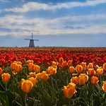 Morning Tulip Field 7090 F thumbnail