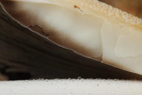 Firerug Inkcap - Coprinellus cf. domesticus