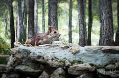 ARDILLA-2 (ROGE gonzalez ALIAGA) Tags: nanutaleza montaña animales nikond5000 1855mm ardillas fauna