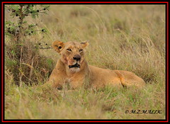 FEMALE LIONESS (Panthera leo)......NAIROBI NAT.PARK......OCT 2013 (M Z Malik) Tags: nikon d3x 200400mm14afs kenya africa safari wildlife nairobinatpark exoticafricanwildlife exoticafricancats flickrbigcats leo lioness