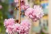 Blossom - Flowers in my garden (Maria Eklind) Tags: dof bokeh spring colorful flowers vår closeup outdoor blommor malmö swedenblossom depthoffield skånelän sverige se