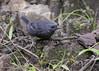 Silvery-fronted Tapaculo (Scytalopus argentifrons) (Gmo_CR) Tags: scytalopusargentifrons silveryfrontedtapaculo tapaculofrentiplateado guillermosaborio macho male costarica coronado monserrat