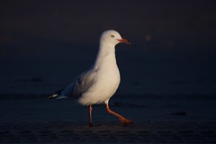 Into the last light (Geoff Main) Tags: australia bengellobeach bird broulee canon6d canonef100400f4556lisusm nsw nswsouthcoast seagull