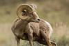 Ewe-turned his head? (ChicagoBob46) Tags: rockymountainbighornsheep bighornsheep sheep ram yellowstone yellowstonenationalpark nature wildlife ngc npc