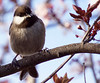 Chickadee 20160222 (caligula1995) Tags: 2016 blossoms chickadee flowers leaves plumtree