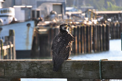 2018-05-11 Bald Eagle (06) (1024x680) (-jon) Tags: anacortes skagitcounty skagit washingtonstate washington salishsea curtiswharf guemeschannel pnw pacificnorthwest bird raptor birdofprey eagle haliaeetusleucocephalus baldeagle juvenile immature a266122photographyproduction portofanacortes portdock pier dock