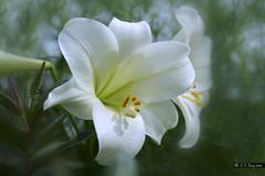 _DSC4054a (K S Kong) Tags: lilium sonyfe90mmf28macrogoss macro garden gendersbythebay