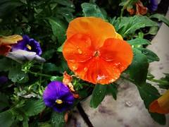 Pansies (Anna Gelashvili) Tags: pansies flower цветочки garden сад цветок flowers анютиныглазки plant soil почва ყვავილი ყვავილები leaf macro bright лист макрос яркий