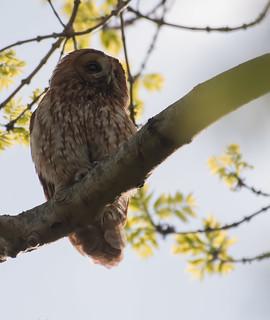 DSC_2663  Tawny Owl