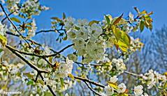 Frühlingsfoto (garzer06) Tags: deutschland weis mecklenburgvorpommern silmenitz frühlingsfoto inselrügen baum insel blau rügen makro naturphoto naturphotography naturfoto naturfotografie blüte