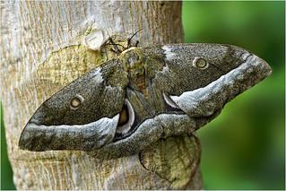 African Emperor Moth