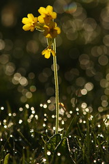 Back Lit Cowslip (Derbyshire Harrier) Tags: 2018 spring cowslips dew dawn whitepeak limestone peakdistrict peakpark may yellow primulaveris backlighting backlit grassland sparkles