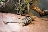 Baja blue rock lizard (Cloudtail the Snow Leopard) Tags: felsenleguan leguan blauer tier animal reptil reptile baja blue rock lizard petrosaurus thalassinus zoo wilhelma stuttgart