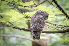 Barred Owls (sharpeshooter1) Tags: barred owls nikon d750 sigma150600