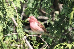 Purple Finch (Carpodacus pupureus) (Gerald (Wayne) Prout) Tags: purplefinch carpodacuspupureus animalia chordata aves passeriformes fringillidae carpodacus pupureus mybackyard cityoftimmins mountjoytownship northeasternontario northernontario ontario canada prout geraldwayneprout canon canonpowershotsx60hs digital camera photographed photography birds purple finches songbirds perchingbirds animals wildlife nature backyard city timmins mountjoy township northeastern northern