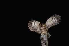 Tawny  Owl (Matt Scott Wildlife Photography) Tags: owl tawnyowl aves birds bird canon flash night ianhowells newport wales