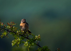 Stonechat early morning (davebennett65) Tags: stonechat bird wildlife nature gorse sunlight perch portrait light nikon d500