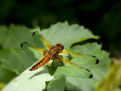 Libellula Vulva 2018 (Appaz Photography☯) Tags: appazphotography dyr animals insect guldsmed dragonflies libellulavulva spidsplettetlibel jylland denmark silkeborg dalsvinget