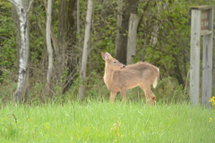 Neceda NWR Spring 2018 (turn off your computer and go outside) Tags: 2018 may necedahnationalwildliferefuge wisconsin critter deer mammal mostlycloudy62degrees nature oudoors spring wild