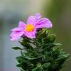 DSC09857 (Ezzo33) Tags: france gironde nouvelleaquitaine bordeaux ezzo33 nammour ezzat sony rx10m3 parc jardin fleur fleurs flower flowers mauve rose mallow