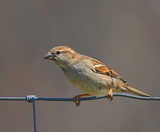 House-Sparrow-35w
