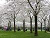 Hanami Matsuri (Shahrazad26) Tags: hanamimatsuri kersenbloesem sakura cherryblossom amsterdamsebos amsterdam noordholland nederland holland paysbas thenetherlands lente spring voorjaar frühling printemps blossom bloesem