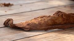 Chroniques cubaines 16 (chriskatsie) Tags: cigare cigar vinales cuba tabac tobacco