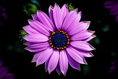 Osteospermum (A.Dissing) Tags: osteospermum macro flower summer purple green white black art light dark contrast a7 a7ii a7m2 sony anders dissing masterpiece super detail fantastic good positive photo pixel mm creative beautiful color composition moment europe artistic other danish denmark danmark different exposure enjoy young unique weather scene awesome dope angle perfect perspective interesting spring magenta beauty