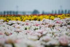 Tulips here, tulips there... (hub en gerie) Tags: tulips white pink yellow red field tulipfield tulpen tulpenveld bollenveld bulbfield wit rose geel rood focus colours kleuren ooltgensplaat goereeoverflakkee zholland southholland netherlands nederland nature natuur bloemen 52in2018 34many 52in2018challenge platinumheartaward