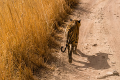Ranthambore National Park (polychromatisch) Tags: ilce7rm3 india sony alpha 7r3 7riii fe 24105 f4 g oss tiger ranthambore national park