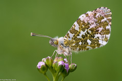 Happy Valley (Paul:Ritchie) Tags: anthochariscardimines arthropoda butterflies insecta insects lepidoptera nature nikond90 orangetip paulritchie pieridae sigma105mmf28macro wildlife
