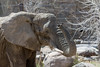 DSC_8616 (rhino5500) Tags: 2018 bretgardner bretgardnerpixelscom cheyennemountainzoo colorado d7100 earth earthday elephant funnyphotos haveaniceday hiking love mammals nature nikon nikonadventure outdoors photography sillyphotos smugmug theworld zoo