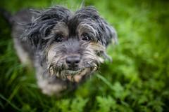 17/52 - Soggy Bear (Kirstyxo) Tags: teddy cute dog portrait 1752 52weeksfordogs 52weeksfordogs2018 52weeksfordogs18