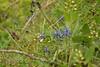 Georgian Flora (bigcrow) Tags: georgia birtvisi flora flowers plants plantlife georgian spring dslr nikon nikkor d3100 digital საქართველო ბირთვისი ყვავილი ყვავილები ლურჯი იისფერი იასამნისფერი ბალახი weeds mountain blue violet green მწვანე ციფრული ნიკონი
