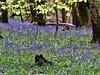 Bluebells in abundance at the Wenallt. A yearly wonder. (thomas morrow2012) Tags: bluebells wenallt south wales hyacinthus endymion