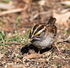 White-throated Sparrow with a Seed (ksblack99) Tags: waterloostaterecreationarea grasslake michigan whitethroatedsparrow zonotrichiaalbicollis seed