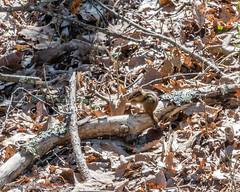 Eastern Chipmunk (mikerhicks) Tags: cumberlandgap cumberlandgapnationalhistoricalpark easternchipmunk ewing hdr hiking kentucky middlesboro nationalpark nature shawanee sonya6500 unitedstates virginia wildlife history outdoors exif:aperture=ƒ11 camera:make=sony exif:lens=epz18105mmf4goss geo:lat=36606691666667 exif:make=sony geo:lon=83666875 geo:state=kentucky geo:country=unitedstates exif:focallength=105mm exif:isospeed=200 geo:location=cumberlandgap geo:city=middlesboro camera:model=ilce6500 exif:model=ilce6500