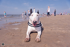 The Best Of English To Ya. (alundisleyimages@gmail.com) Tags: englishbullterrier newbrighton wirral beach merseyside people bokeh sand ports harbours summer happy dog pet domesticanimal lowpointofview lighthouse waves tide seadefence