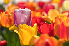 Standout (mclcbooks) Tags: flower flowers floral tulip tulips spring bulbs denverbotanicgardens colorado